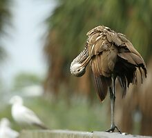 LIMPKIN by Howard  Taylor