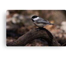 Black Capped Chicadee 1 Canvas Print