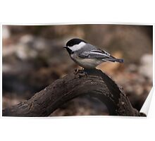 Black Capped Chicadee 1 Poster