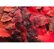 Red Grape Vines Photographic Print