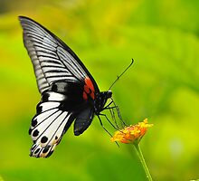 Great Mormon Butterfly 5 by Tony Wong