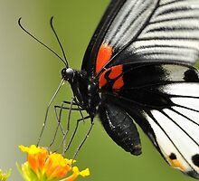 Great Mormon Butterfly 8 by Tony Wong