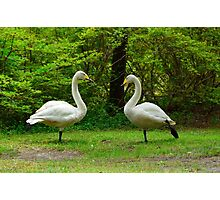Karate Swans Photographic Print