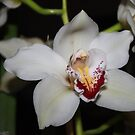 White Cymbidium Orchid...... by DonnaMoore