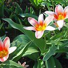 Tulips Tulips by Vitta