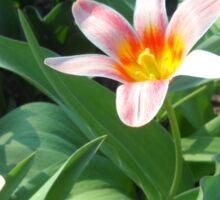 Tulips Tulips Sticker