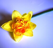 Daffodil Blue by Annette Brown