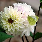 Butterfly on White Dahlia by BlueMoonRose
