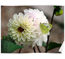Butterfly on White Dahlia Poster