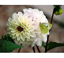 Butterfly on White Dahlia Photographic Print