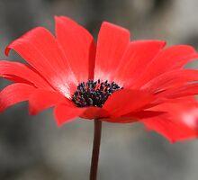 red anemone by Cornelia Togea