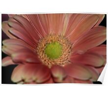 Gerber Daisy In Pink Poster