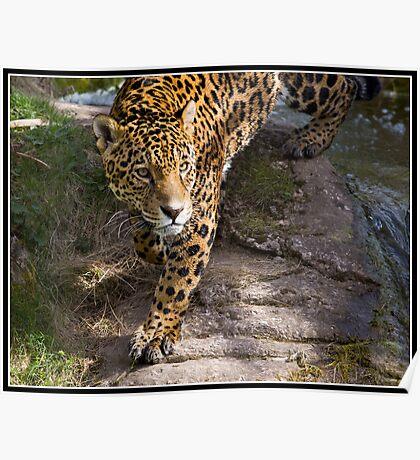 Jaguar at Chester Zoo Poster