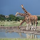 Reticulated Giraffe, Maasai Mara, Kenya by Neville Jones