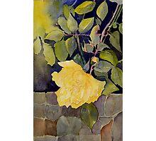 Yellow roses over the garden wall Photographic Print