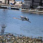 Blue Heron in Flight 1 by TheKoopaBros
