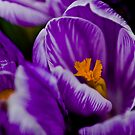 Purple Splendour by David Friederich