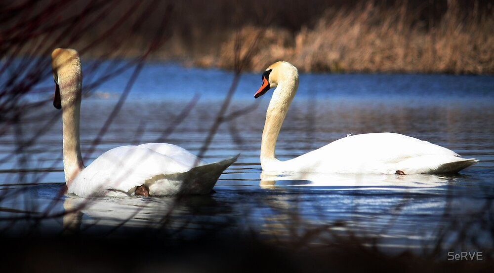 Swans in Love by SeRVE