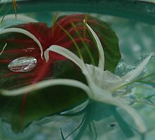Water bead & spider lily by Lynn  Cropp