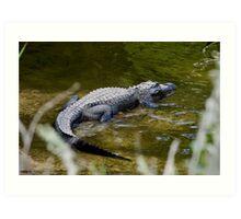 Alligator sunning on the banks of the Turner River Art Print