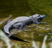 Alligator sunning on the banks of the Turner River by Larry  Grayam
