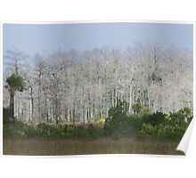 Cypress trees in sunlight Poster