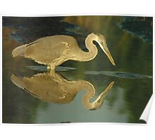 Great Blue Heron examines his reflection Poster