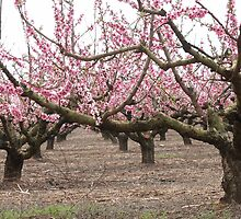 Peach Blossoms by Bob Hardy