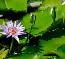 Grand Palace water lilly by Kyra  Webb