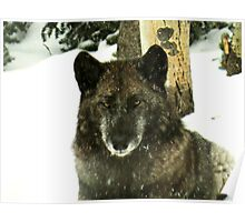 Black timber wolf Poster