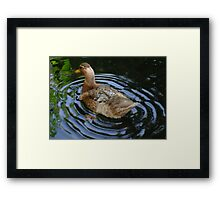Female Duck Shaking Tail Feathers And Water Ripples Framed Print