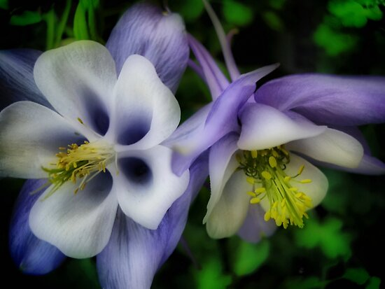 Purple Columbine by Barbara  Brown