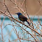 Grackle In Spring by Deborah  Benoit