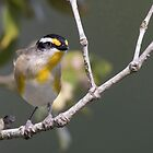 Striated Pardalote by JayWolfImages