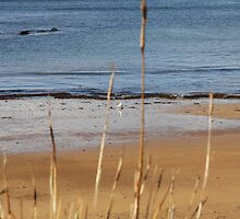 Quiet Seagull fossicker Penguin Beach Tasmania by Goggo