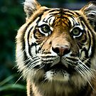 hey tiger by phoggy