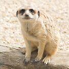 Meerkat  by Aden Brown