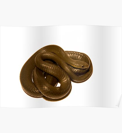 Swamp Snake Poster