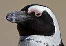 African penguin portrait by David Clarke