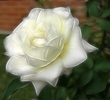 White Rose 1 Purity by Christopher Johnson