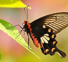 Common Rose Butterfly by Tony Wong