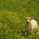 Lamby by michaelcommon