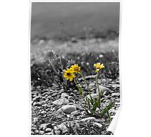 Mountain Daisies- Selective Color Poster