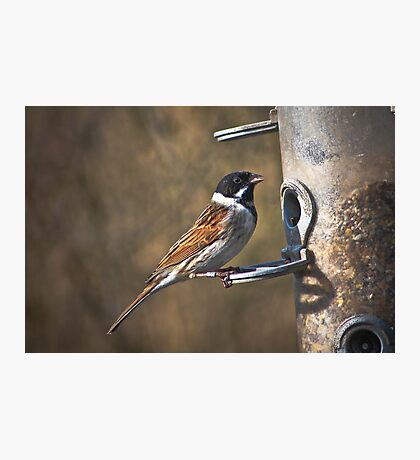 Reed bunting (red list species) Photographic Print