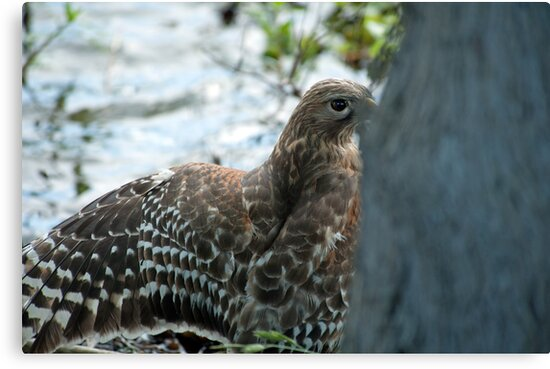 Hawk hiding in the shadows  by Bonnie T.  Barry