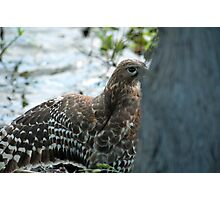 Hawk hiding in the shadows  Photographic Print
