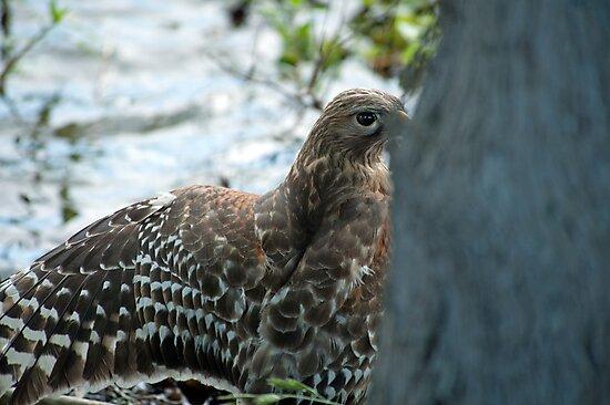 Hawk hiding in the shadows  by Bonnie T.  Barry