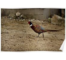Ring-Necked Male Pheasant Poster