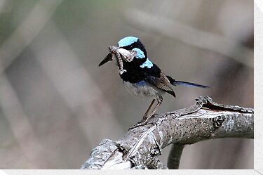 Breakfast - Superb Fairy-wren  by Normf