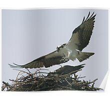 Osprey landing Poster